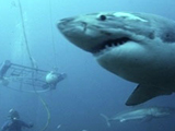 Photo for Search for the Great Sharks